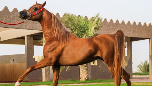 The Arabian: Equine Perfection Defined