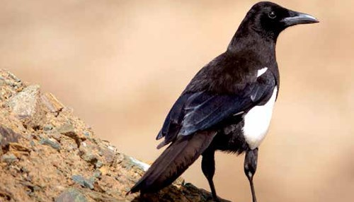 Protecting the Asir Magpie: Saudi Aramco Lends a Helping Hand to Protect a Rare Bird